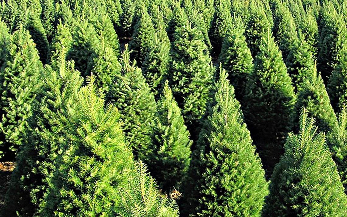 Lista la venta de rboles de Navidad en Valle de Bravo El Sol de